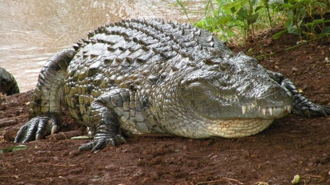 krokodyl i murzyni